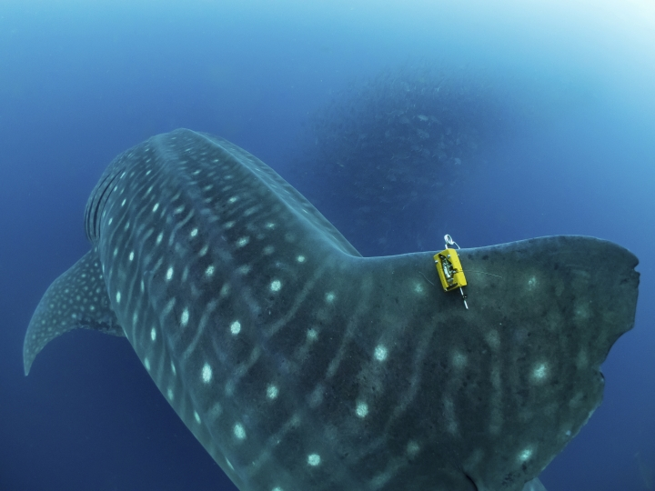 In this 2017 photo provided by Simon, a fin-mounted satellite tag is attached to a whale shark as a school of fish swims by, in the Galapagos Islands area of Ecuador. Despite typically being bigger than a double-decker bus, the elusive whale shark has only tiny, almost useless teeth. It's also one of the least understood animals in the ocean. (simonjpierce.com via AP)