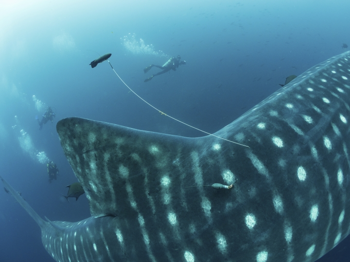 This 2017 photo provided by Simon Pierce shows a double-tagged whale shark, with a position tag on a tether and a satellite tag attached to a whale shark in the Galapagos Islands area of Ecuador. (simonjpierce.com via AP)