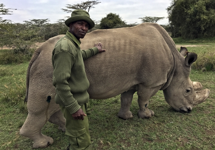 "FILE - In this Friday, July 28, 2017 file photo, wildlife ranger Zachariah Mutai takes care of Sudan, the world's last male northern white rhino, at the Ol Pejeta Conservancy in Laikipia county in Kenya. The health of 45-year-old Sudan is deteriorating and his minders said Thursday, March 1, 2018 that his ""future is not looking bright."" (AP Photo/Joe Mwihia, File)"
