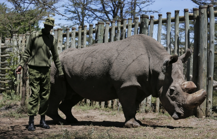"""In this photo taken Wednesday, May 3, 2017, a ranger takes care of Sudan, the world's last male northern white rhino, at the Ol Pejeta Conservancy in Laikipia county in Kenya. The health of 45-year old Sudan is reported to be deteriorating and his minders said Thursday, March 1, 2018 that his """"future is not looking bright."""" (AP Photo)"""