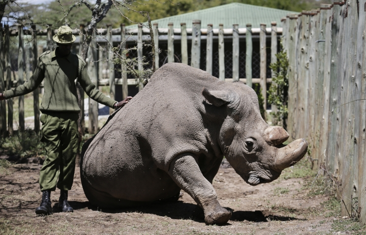 """In this photo taken Wednesday, May 3, 2017, a ranger takes care of Sudan, the world's last male northern white rhino, at the Ol Pejeta Conservancy in Laikipia county in Kenya. The health of 45-year old Sudan is deteriorating and his minders said Thursday, March 1, 2018, that his """"future is not looking bright."""" (AP Photo)"""