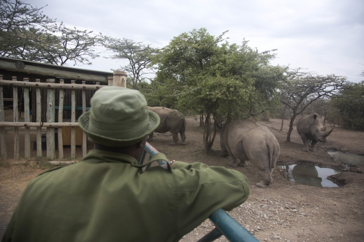 """Keeper James Mwenda, observes two female northern white rhinos remaining in the world, and a southern rhino in the pen where they are kept for observation, at the Ol Pejeta Conservancy in Laikipia county in Kenya Friday, March 2, 2018. The health of the sole remaining male northern white rhino, 45-year-old Sudan who also lives at Ol Pejeta, is deteriorating and his minders said Thursday that his """"future is not looking bright."""" (AP Photo/Sunday Alamba)"""