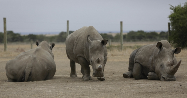 "Fatu, centre, and Najin, left, the only two female northern white rhinos left in the world, graze where they are kept for observation, at the Ol Pejeta Conservancy in Laikipia county in Kenya Friday, March 2, 2018. The health of the sole remaining male northern white rhino, 45-year-old Sudan who also lives at Ol Pejeta, is deteriorating and his minders said Thursday that his ""future is not looking bright."" (AP Photo/Sunday Alamba)"