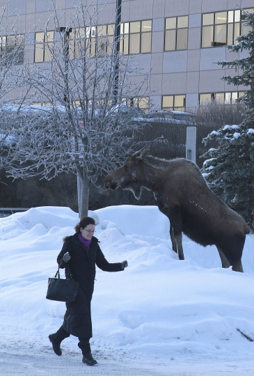 File - In this March 8, 2012 file photo, a woman hurries by a cow moose browsing on frosted branches of an ornamental tree in the the parking lot of the Boney Courthouse in Anchorage, Alaska. Moose thrive in Alaska's largest city with little to fear from natural predators such as wolves or bears, but getting an accurate count of the largest member of the deer family remains a challenge for the state wildlife biologists who must manage their numbers. (AP Photo/Dan Joling, File)