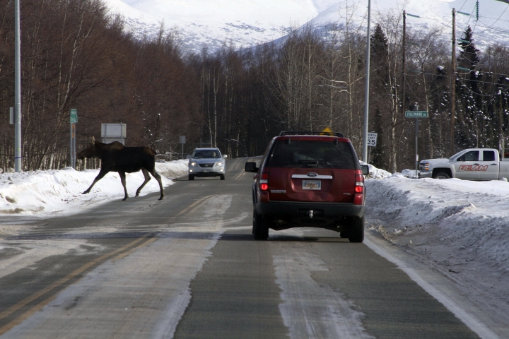 File - In this March 1, 2017 file photo, a moose crosses a road near the Ted Stevens Anchorage International Airport in Anchorage, Alaska. Moose thrive in Alaska's largest city with little to fear from natural predators such as wolves or bears, but getting an accurate count of the largest member of the deer family remains a challenge for the state wildlife biologists who must manage their numbers. (AP Photo/Mark Thiessen, File)