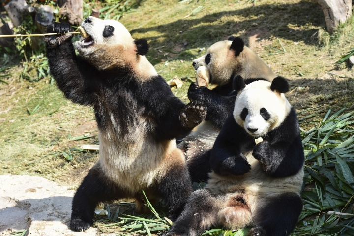In this Feb. 8, 2018, photo, the world's longest-living panda triplets Meng Meng, Shuai Shuai, and Ku Ku, eat food in their compound at a zoo in Guangzhou in southern China's Guangdong province. The Bank of China pledged at least 10 billion yuan ($1.5 billion) on Thursday, March 8, 2018, to create a massive giant panda conservation park in southwestern Sichuan province. (Chinatopix via AP)