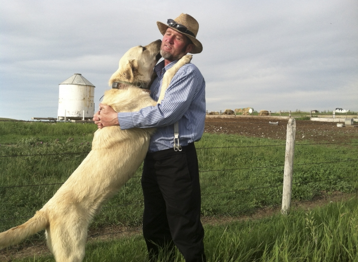 In this 2013 photo provided by the U.S. Department of Agriculture a Kangal dog greets Ben Hofer of the Hutterite Rockport Colony near Pendroy, Mont. Nearly 120 dogs from three large breeds perfected over centuries in Europe and Asia to be gentle around sheep and children but vicious when confronting wolves recently completed a four-year study to see how they'd react to their old nemesis on a new continent. The U.S. Department of Agriculture supplied Cão de Gado Transmontanos, Karakachans and Kangals that can weigh 150 pounds (68 kilograms) to guard sheep in Idaho, Montana, Wyoming, Washington and Oregon. (Julie Young/U.S. Department of Agriculture via AP)