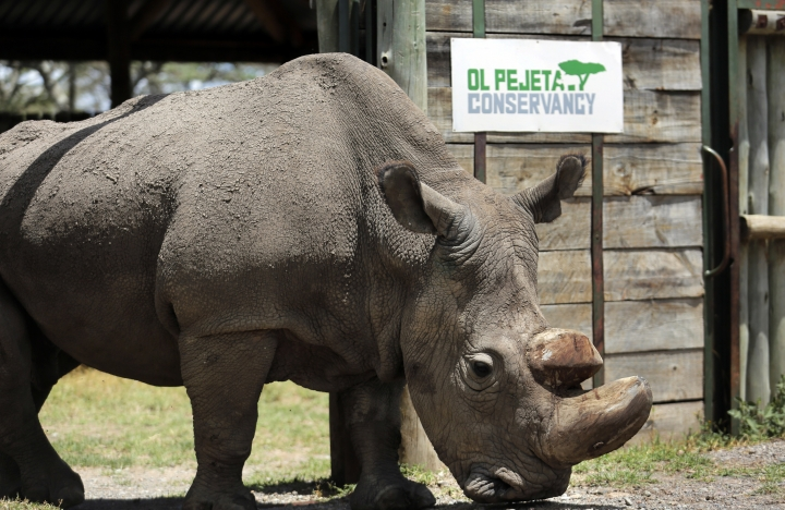 "FILE - In this Wednesday, May 3, 2017, file photo, Sudan, the world's last male northern white rhino, is photographed at the Ol Pejeta Conservancy in Laikipia county in Kenya. Researchers say Sudan has died after ""age-related complications."" A statement from the Ol Pejeta Conservancy in Kenya says the 45-year-old rhino was euthanized Monday, March 19, 2018, after his condition ""worsened significantly"" and he was no longer able to stand. (AP Photo/File)"