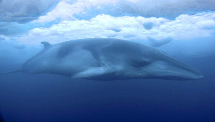In this Feb. 1, 2018, images made from video and supplied by Dr Regina Eisert and Anthony Powell of the University of Canterbury a minke whale glides under the ice in McMurdo Sound, Antarctica. Marine mammal expert Regina Eisert thought minke whales were a little boring until she captured some striking footage of one swimming underwater near Antarctica. Now she thinks they're beautiful. (Regina Eisert/Anthony Powell /University of Canterbury via AP)