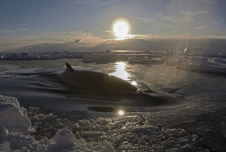 In this Jan. 31, 2018, image supplied by Dr Regina Eisert of the University of Canterbury a minke whale floats to the surface through the ice in McMurdo Sound, Antarctica. Marine mammal expert Regina Eisert thought minke whales were a little boring until she captured some stiking footage of one swimming underwater near Antarctica. Now she thinks they're beautiful. (Regina Eisert/University of Canterbury via AP)