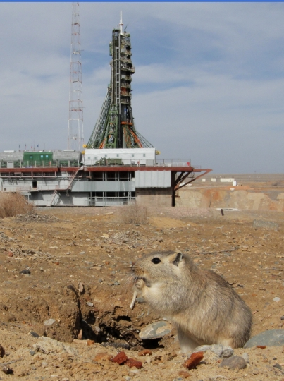 A jerboa sits near the launch pad a few hours before the launch of the Soyuz-FG rocket booster with Soyuz MS-08 space ship carrying a new crew with at the Russian leased Baikonur cosmodrome, Kazakhstan, Wednesday, March 21, 2018. The Russian rocket carries Russian cosmonaut Oleg Artemyev, U.S. astronauts Richard Arnold and Andrew Feustel. (AP Photo/Dmitri Lovetsky)