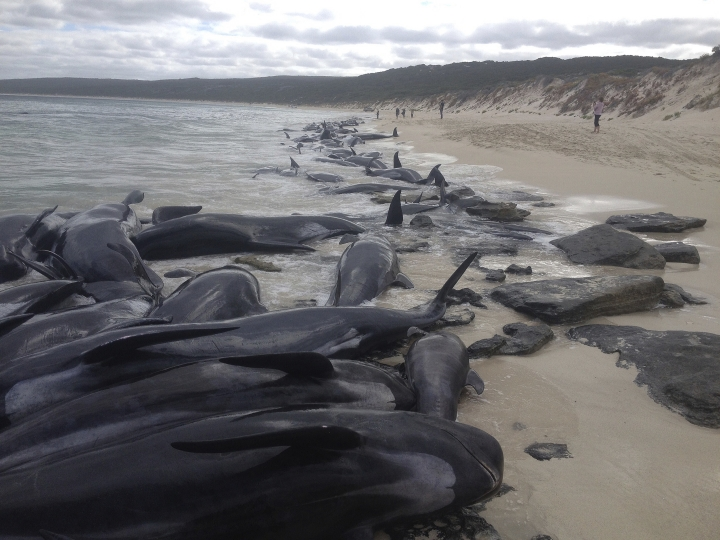 Supplied image of more than 150 short-finned pilot whales who became beached at Hamelin Bay, in Western Australia's south, Friday, March 23, 2018. A shark warning has been issued after more than 150 short-finned pilot whales became stranded in Western Australia's south. About 75 whales have died after beaching themselves, while another 50 are still alive on the beach and a further 25 are in the shallows. (WA Department of Biodiversity, Conservation and Attractions, Parks and Wildlife Service/AAP via AP)