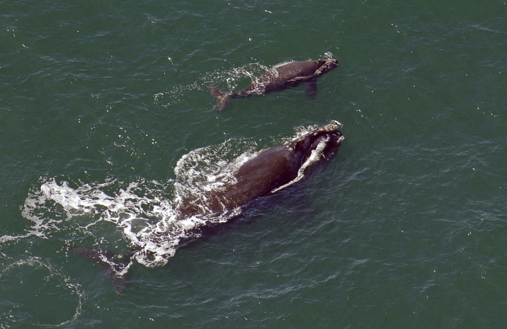 FILE - In this 2009 file photo, a female right whale swims at the surface of the water with her calf a few miles off the Georgia coast. The winter calving season for critically endangered right whales is ending without a single newborn being spotted off the southeast U.S. coast. That is something that hasn't happened in 30 years. Researchers have been looking since December for newborn right whales off the coasts of Georgia and Florida. That's where pregnant whales typically give birth each winter. Survey flights wrap up when the month ends Saturday, March 31, 2018. (John Carrington/Savannah Morning News via AP, File)