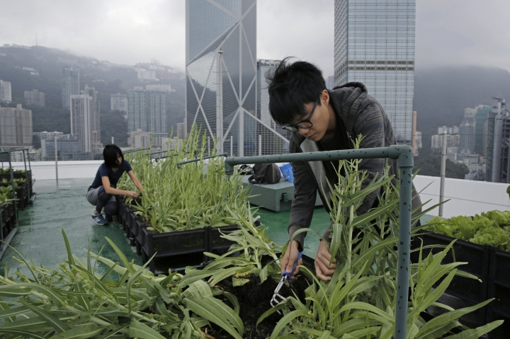 In this Nov. 14, 2017, photo, volunteers pick Indian lettuce on the roof of the 38-story Bank of America tower, in Hong Kong. High above downtown Hong Kong's bustling, traffic-clogged streets, a group of office workers toil away. They're working not on a corporate acquisition or a public share offering but on harvesting a bumper crop of lettuce atop one of the skyscrapers studding the city's skyline. (AP Photo/Kin Cheung)