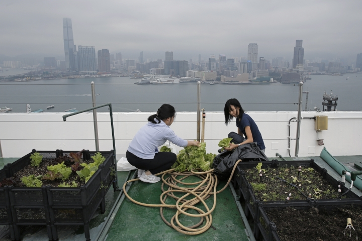 In this Nov. 14, 2017 photo, Michelle Hong, right, and Catherine Ng wash lettuce on the roof of the 38-story Bank of America tower, in Hong Kong. High above downtown Hong Kong's bustling, traffic-clogged streets, a group of office workers toil away. They're working not on a corporate acquisition or a public share offering but on harvesting a bumper crop of lettuce atop one of the skyscrapers studding the city's skyline. (AP Photo/Kin Cheung)