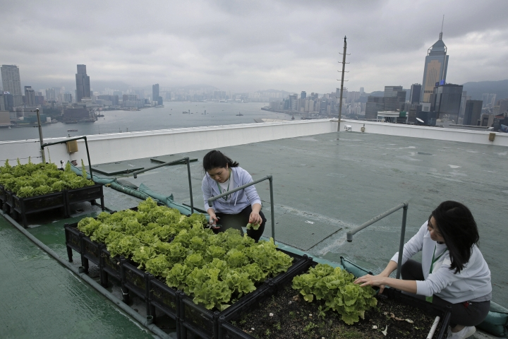 In this Nov. 14, 2017, photo, volunteers pick lettuce growing in rows of low black plastic planters on a decommissioned helipad on the roof of the 38-story Bank of America tower, in Hong Kong. High above downtown Hong Kong's bustling, traffic-clogged streets, a group of office workers toil away. They're working not on a corporate acquisition or a public share offering but on harvesting a bumper crop of lettuce atop one of the skyscrapers studding the city's skyline. (AP Photo/Kin Cheung)