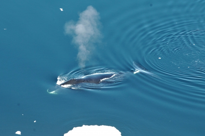 This June 2017 photo provided by the Norwegian Polar Institute shows a bowhead whale in the Fram Strait between Greenland and Svalbard. In a study released in the Wednesday, April 4, 2018 edition of Biology Letters, scientists have eavesdropped year-round on the songs of bowhead whales which roam the Arctic under the ice, and have found they are more prolific and jazzier than other whales. (Kit M. Kovacs, Christian Lydersen/Norwegian Polar Institute via AP)