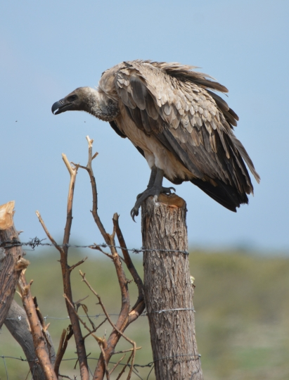 In this photo taken on Jan, 27, 2016 and supplied by researcher Beckie Garbett on Wednesday April 4, 2018, a white-backed vulture is perched on a pole, in Rakops, Botswana. Poachers, poisoning and other hazards have taken a heavy toll on Africa's threatened vultures as well as the threat of toxic bullet lead that they ingest while eating the carcasses of animals shot by legal hunters. (Photo Beckie Garbett via AP)