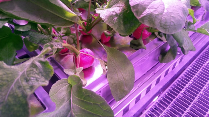 The undated photo provided by the German aerospace center (DLR) shows radish before being harvested in the EDEN-ISS greenhouse at the Neumeyer-Station III on Antarctica. The project without soil but with a closed water cycle, optimized lightning and carbon dioxide levels is a test to become part of the nutrition for astronauts in future moon or Mars missions. (DLR via AP)