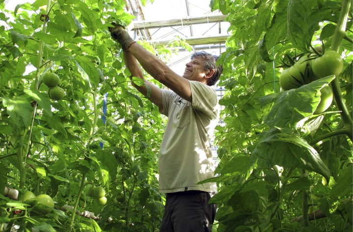 In this April 2, 2018, photo, greenhouse manager Oscar Ruiz prunes organic tomato plants growing in a greenhouse at Long Wind Farm in Thetford, Vt. Farm owner Dave Chapman is a leader of a farmer-driven effort to create an additional organic label that would exclude hydroponic farming and concentrated animal feeding operations. (AP Photo/Lisa Rathke)