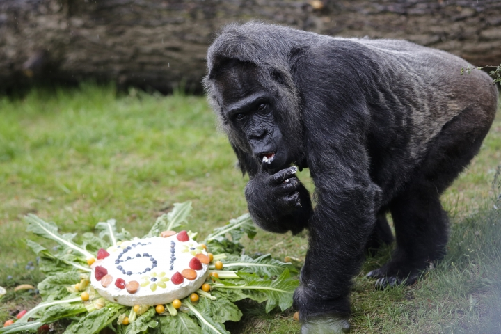 The female Gorilla Fatou eats a 'rice-cake' to celebrate her 61st birthday at the zoo in Berlin, Germany, Friday, April 13, 2018. According to Zoo officials Fatou is together with Gorilla Trudy at a Zoo in Little Rock at the United State the oldest living female gorilla in the world. Both Gorillas are around 61 years. (AP Photo/Markus Schreiber)