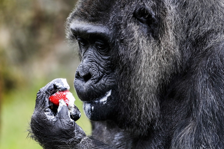 The female Gorilla Fatou looks at a straw-berry which topped a 'rice-cake' to celebrate her 61st birthday at the zoo in Berlin, Germany, Friday, April 13, 2018. According to Zoo officials Fatou is together with Gorilla Trudy at a Zoo in Little Rock at the United State the oldest living female gorilla in the world. Both Gorillas are around 61 years. (AP Photo/Markus Schreiber)