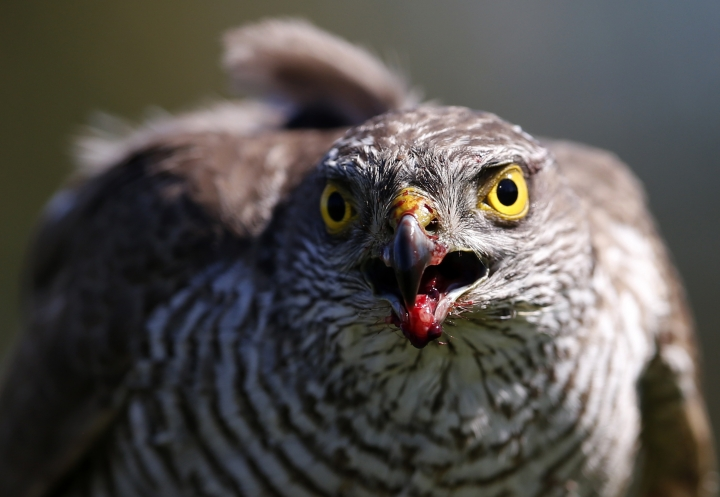 FILE- In this April 23, 2015, file photo a sparrow hawk looks up after catching a pigeon on a falcon farm, near the northern Serbian town of Coka. A study published Monday, April 16, 2018, in the Proceedings of the National Academy of Sciences gives the first global look at a worsening timing problem. For example in the Netherlands, the Eurasian sparrow hawk has been late for dinner because its prey, the blue tit, over 16 years has arrived almost six days earlier than the hawk. (AP Photo/Darko Vojinovic, File)