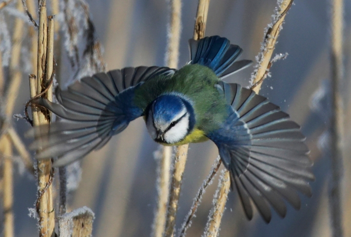 FILE- In this Feb. 26, 2018, file photo, a blue tit flies among dried plants covered with hoarfrost near the Belarus village of Dukora, some 40 km (25 miles) southeast of Minsk. A study published Monday, April 16, 2018, in the Proceedings of the National Academy of Sciences gives the first global look at a worsening timing problem. For example in the Netherlands, the Eurasian sparrow hawk has been late for dinner because its prey, the blue tit, over 16 years has arrived almost six days earlier than the hawk. (AP Photo/Sergei Grits, File)