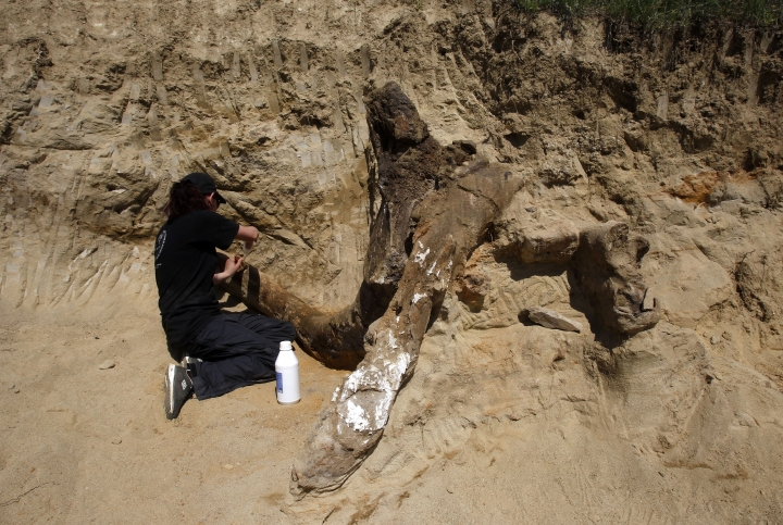 A member of a paleontologist team works on a fossilized skeleton of an extinct species of elephant, excavated at Dolni Disan, near Negotino, in central Macedonia, Tuesday, April 24, 2018. Paleontologists from Bulgaria and Macedonia are excavating the fossilized remains of a prehistoric elephant believed to pre-date the mammoth, after its bones were found accidentally by a man working in a field. (AP Photo/Boris Grdanoski)
