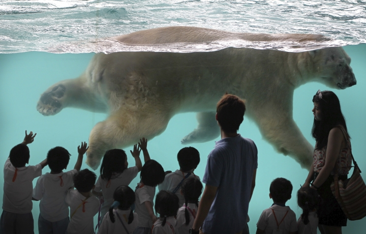 In this May 29, 2013, file photo, Inuka, the first polar bear born in the tropics, swims in his new enclosure at the Singapore Zoo in Singapore. Inuka, the world's first polar bear to be born in the tropics, was put down by the Singapore Zoo on Wednesday, April 25, 2018. The zoo said that the bear, which had reached a ripe old age of 27, was in a fair bit of pain and discomfort from wounds on his abdomen and paws. (AP Photo/Wong Maye-E, File)