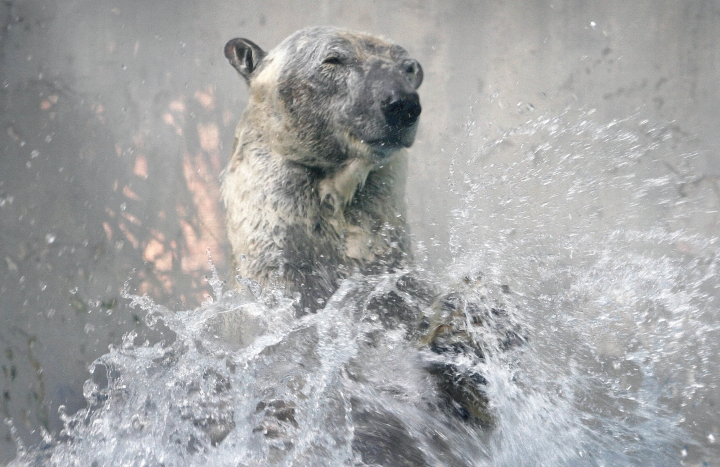 In this May 4, 2007, file photo, then seventeen-year-old Inuka the polar bear splashes water while performing water ballet, at the zoo in Singapore. Inuka, the world's first polar bear born in the tropics, has been put down by the Singapore Zoo. The 27-year old bear suffered from age-related ailments including arthritis. Its limbs were too weak to support an over 500-kilogram frame. (AP Photo/Wong Maye-E, File)