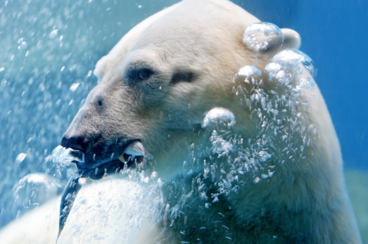 In this June 11, 2008, file photo, then eighteen-year-old Inuka the polar bear is seen feeding in his enclosure at the zoo in Singapore. Inuka, the world's first polar bear to be born in the tropics, was put down by the Singapore Zoo on Wednesday, 25 April 2018. The zoo said that the bear, which had reached a ripe old age of 27, was in a fair bit of pain and discomfort from wounds on his abdomen and paws. (AP Photo/Wong Maye-E, File)