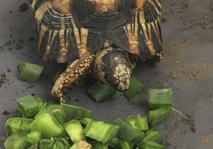 In this photo taken Tuesday, April, 24, 2018 and supplied by The Wildlife Alliance, a critically endangered radiated tortoise is recovering from capture by wildlife traffickers in Madagascar at feeding time at a wildlife facility where it is being taken care of by international conservationists. More than 10,000 of the tortoises had been crammed into a home in Toliara, Madagascar, with no access to food or water until police found them. The radiated tortoises had likely been poached for the illegal pet trade, possibly in Asia. (Susie Bartlett / The Wildlife Conservation Society via AP)