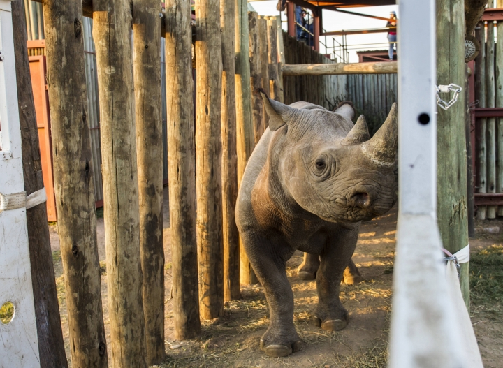 In this photo taken on Wednesday May 2, 2018, a rhino is seen in a cage in the Addo Elephant Park, near Port Elizabeth, South Africa, to be transported to Zakouma National Park in Chad. Six critically endangered black rhinos are being sent from South Africa to Chad, restoring the species to the country in north-central Africa nearly half a century after it was wiped out there. (AP Photo/Michael Sheehan)