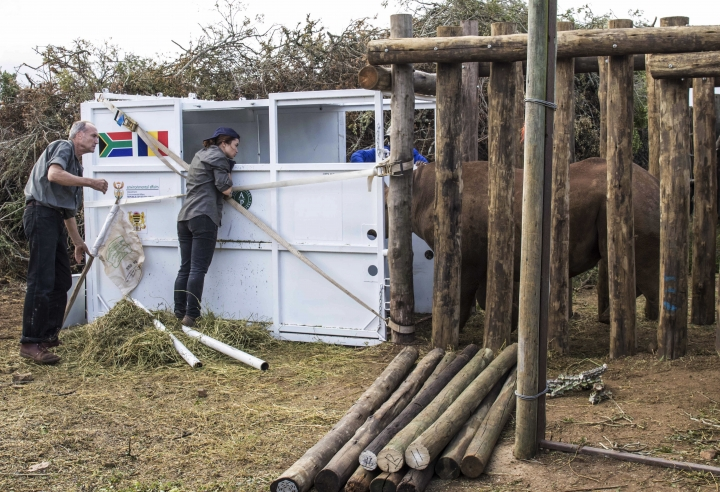 A rhino is coaxed into a cage in the Addo Elephant Park, near Port Elizabeth, South Africa, Thursday May 3, 2018, to be transported to Zakouma National Park in Chad. Six critically endangered black rhinos are being sent from South Africa to Chad, restoring the species to the country in north-central Africa nearly half a century after it was wiped out there. (AP Photo/Michael Sheehan)