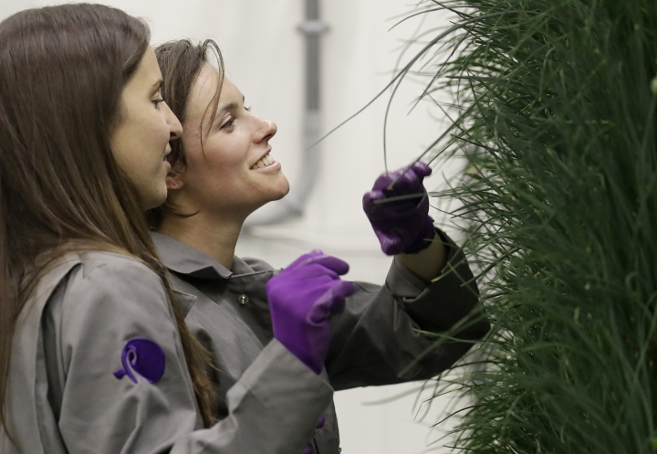 In this Jan. 18, 2018 photo, senior grower Molly Kreykes, left, and associate grower Jess Kowalski inspect chives growing on towers in the grow room at the Plenty, Inc. office in South San Francisco, Calif. More than 30 high-tech companies from the U.S. to Singapore hoping to turn indoor farming into a major future food source, if only they can clear a stubborn hurdle: high costs. (AP Photo/Jeff Chiu)