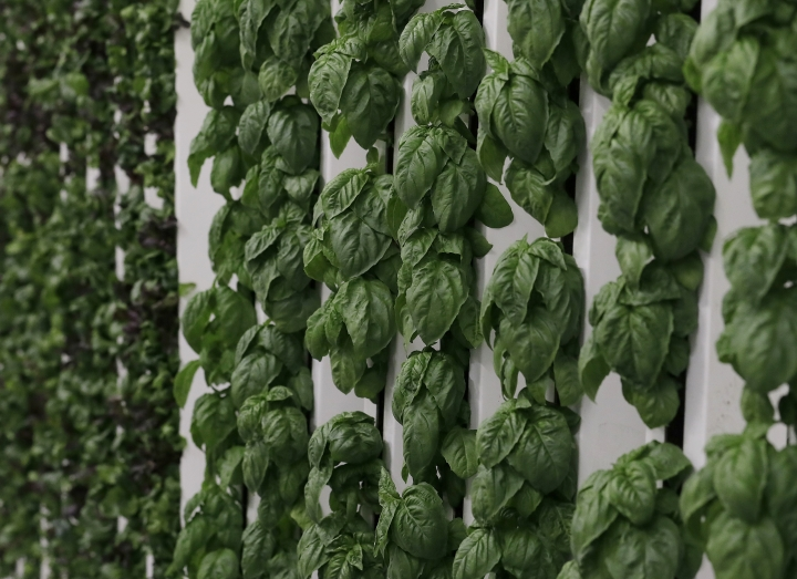 This Jan. 18, 2018 photo shows basil plants growing on towers in the grow room at the Plenty, Inc. office in South San Francisco, Calif. More than 30 high-tech companies from the U.S. to Singapore hoping to turn indoor farming into a major future food source, if only they can clear a stubborn hurdle: high costs. (AP Photo/Jeff Chiu)