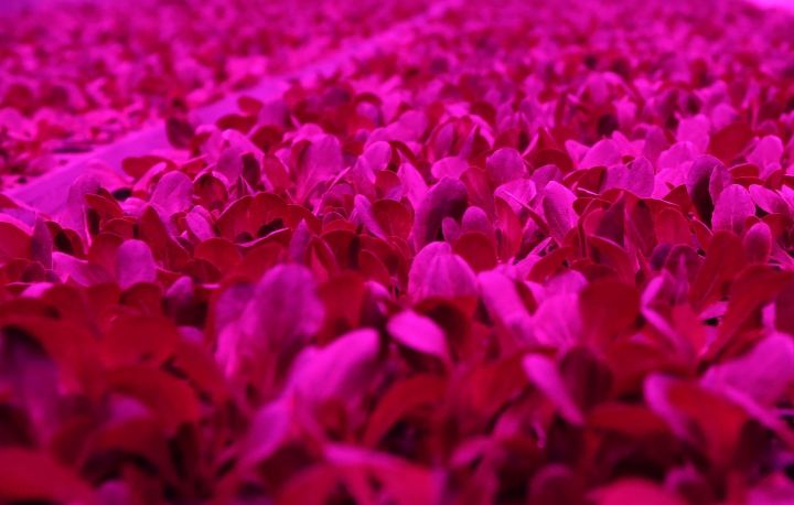 This Jan. 18, 2018 photo shows plant seedlings growing under LED lights in the seedling room at the Plenty, Inc. office in South San Francisco, Calif. More than 30 high-tech companies from the U.S. to Singapore hoping to turn indoor farming into a major future food source, if only they can clear a stubborn hurdle: high costs. (AP Photo/Jeff Chiu)