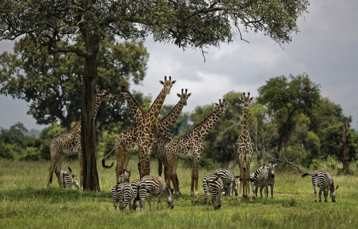 FILE - In this Tuesday, March 20, 2018 file photo, giraffes and zebras congregate under the shade of a tree in the afternoon in Mikumi National Park, Tanzania. A U.S.-based group said Thursday, May 10, 2018 that tens of thousands of Tanzania's ethnic Maasai people have been left homeless after their houses were burned to keep the savannah open for tourism benefiting foreign safari companies. (AP Photo/Ben Curtis, File)