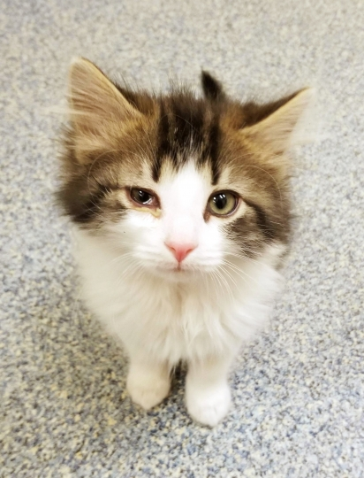 "This 2018 photo released by the Michigan Humane Society shows a kitten named Badges. The Troy, Mich., police department has created a new rank of ""pawfficer"" for the cat that has joined the force. Badges will be used for therapeutic purposes and make public appearances. (Michigan Humane Society via AP)"
