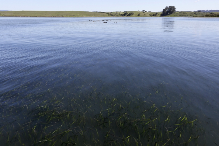 In this photo taken Monday, March 26, 2018, eel grass is seen in the foreground with sea otters in the distance at the Elkhorn Slough in Moss Landing, Calif. Along 300 miles of California coastline, including Elkhorn Slough, a wildlife-friendly pocket of tidal salt marsh and rich seagrass in the curve of Monterey Bay, southern sea otters under state and federal protection as a threatened species have rebounded from as few as 50 survivors in the 1930s to more than 3,000 today. (AP Photo/Eric Risberg)