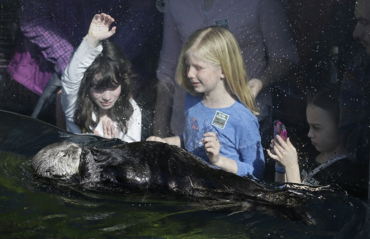 In this photo taken Monday, March 26, 2018, three girls watch a sea otter pass by during its afternoon feeding at the Monterey Bay Aquarium in Monterey, Calif. California sea otters, once thought wiped out by the fur trade, are booming again in a federally-protected enclave of Northern California coast. But outside that sanctuary, a new study finds, a chain of unintended bad consequences has followed man's removal of otters as a top predator of the sea, and is preventing the furry creature's return to its former range from Baja California north. (AP Photo/Eric Risberg)