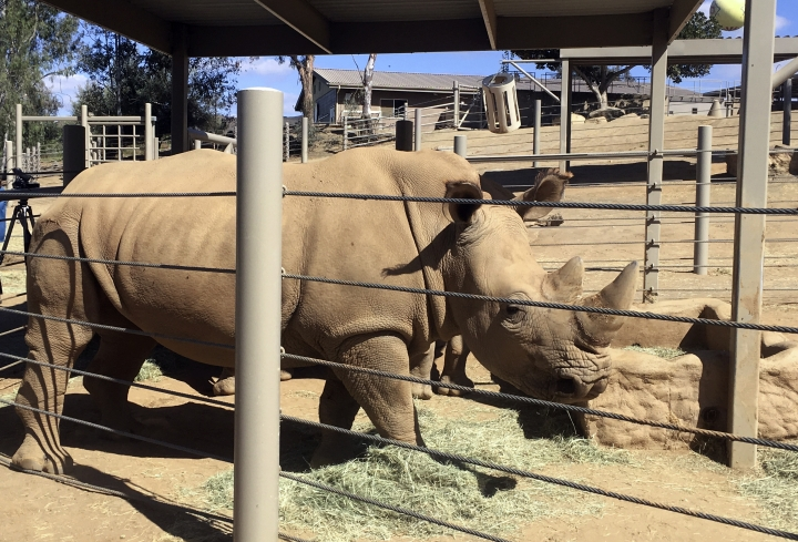 This photo shows Victoria, a pregnant southern white rhino Thursday, May 17, 2018, at the San Diego Zoo Safari Park in Escondido, Calif. The rhino, which has become pregnant through artificial insemination at the park, is giving hope for efforts to save a subspecies of one of the world's most recognizable animals, researchers announced Thursday. (AP Photo/Julie Watson)