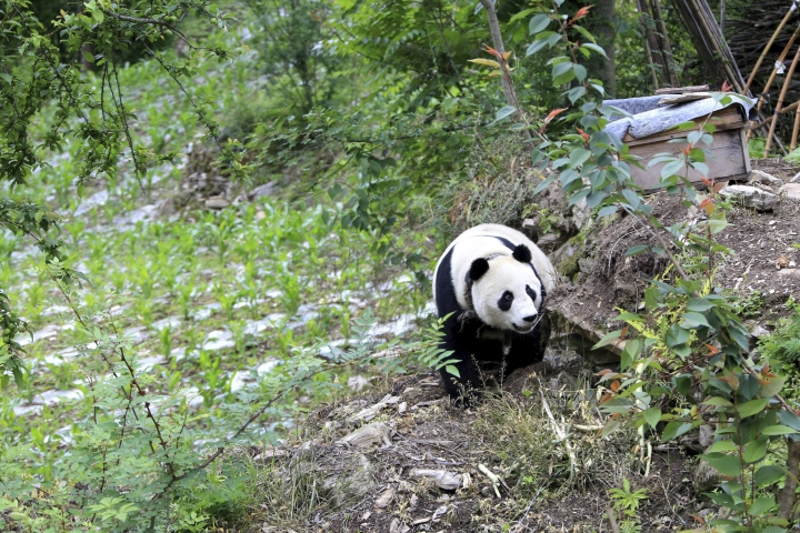 In this Thursday, May 31, 2018, photo, a giant panda wanders through a garden in a village in Wenchuan County in southwestern China's Sichuan province. A highly social giant panda out for a stroll has surprised and delighted residents of a town in the southwestern Chinese province of Sichuan. The panda was first spotted wandering among houses in Wenchuang County on Thursday, seemingly in search of food. (Chinatopix via AP)