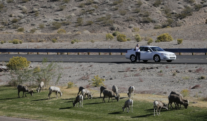 FILE - In this Nov. 8, 2013, file photo, 30 miles from the Las Vegas Strip, a motorist stops to take photos of a herd of big horn sheep grazing along U.S. Highway 93, in Boulder City, Nev. Suddenly road trips are trendy again. Surveys from MMGY, Ford and AAA show their popularity is up. Websites, newspapers, magazines and even books are featuring road trips like they're the next big thing _ even though they're actually a longstanding American tradition. (AP Photo/Julie Jacobson, File)