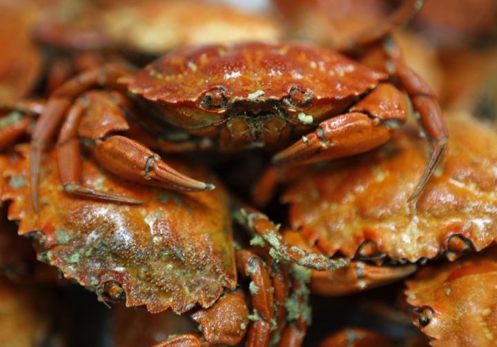 Cooked green crabs are seen, Wednesday, June 6, 2018, in Portland, Maine. Food scientists have gathered in Portland to find a way to monetize invasive green crabs, which are a major pest in shellfish harvesting communities. (AP Photos/Robert F. Bukaty)