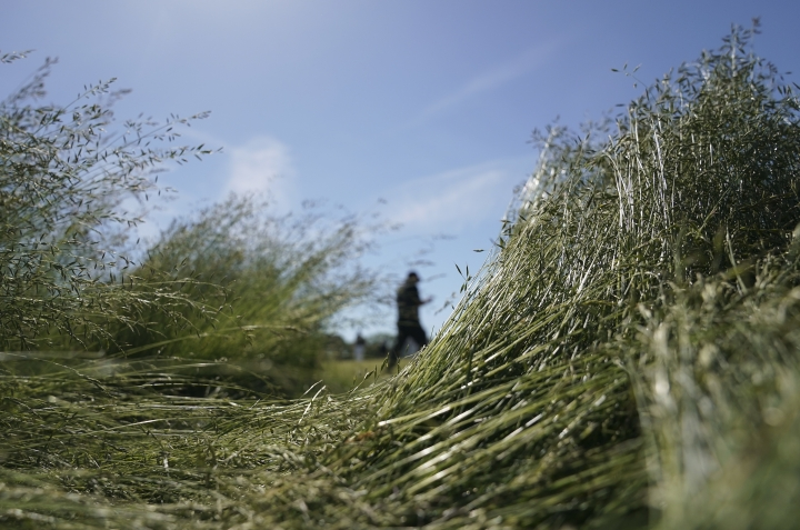 Tall grass lays flattened as Patrick Reed walks around the eighth green during a practice round for the U.S. Open Golf Championship, Tuesday, June 12, 2018, in Southampton, N.Y. (AP Photo/Carolyn Kaster)