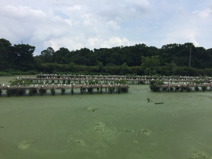 This June 4, 2018 photo shows about 1,000 egrets and other birds on a lagoon in Jungle Gardens on Avery Island, Louisiana. The bird sanctuary was created in the 1890s by E.A. McIlhenny, son of the creator of Tabasco pepper sauce, as a way to boost the declining population of snowy egrets. He hand-raised a small group of the birds and they returned in greater numbers each year until thousands were making the preserve their home. Visitors can see birds and other wildlife and landscapes at Jungle Gardens, in addition to visiting the nearby Tabasco factory and exhibits on the history of the famous condiment. (AP Photo/Beth J. Harpaz)