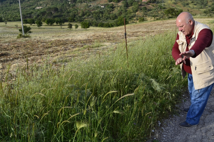 This May 17, 2018 photo shows Giuseppe Piro, an agronomist and naturalist, demonstrating with his hands and arms how farmers once used scythes to cut grasses. He is standing near a field near Castelbuono, Sicily where grasses for animal feed were recently harvested by tractor. (Cain Burdeau via AP)