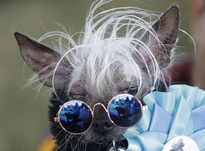 Rascal Deux is held by owner Dane Andrew before competing in the World's Ugliest Dog Contest at the Sonoma-Marin Fair in Petaluma, Calif., Saturday, June 23, 2018. The dogs walk down a red carpet and are evaluated by a panel of judges. The winner takes home $1,500. (AP Photo/Jeff Chiu)